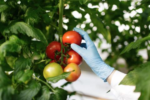 Experto en seguridad alimentaria cogiendo unos tomates